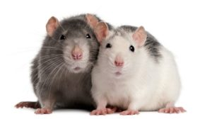 rats_and_other_pests